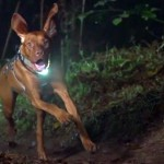 Ruby the dog running with a Piko 4 light